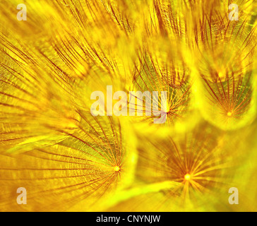Abstrakte Blume Löwenzahn Hintergrund, extreme Nahaufnahme mit soft Focus, wunderschöne Natur details - Stockfoto