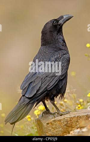 Nordafrikanischer Rabe (Corvus corax tingitanus, Corvus tingitanus), auf einem Stein sitzend, Kanarische Inseln, - Stockfoto