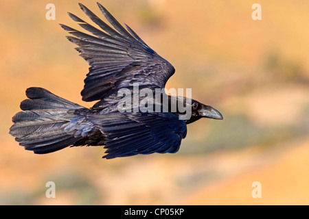 Kanarischen Inseln Raven, Kanarischen Raven (Corvus Corax Tingitanus, Corvus Tingitanus), fliegen, Kanarischen Inseln, - Stockfoto