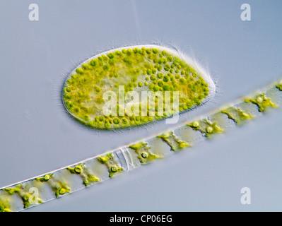 Grüne Pantoffel Tierchen (Paramecium Bursaria), ein Paramecium mit Spirogyra, eine filamental Art von Conjugales, Deutschland