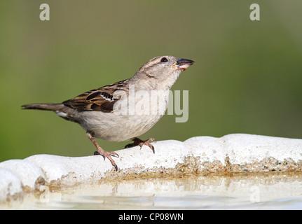 Haussperling trinken aus Vogelbad - Stockfoto