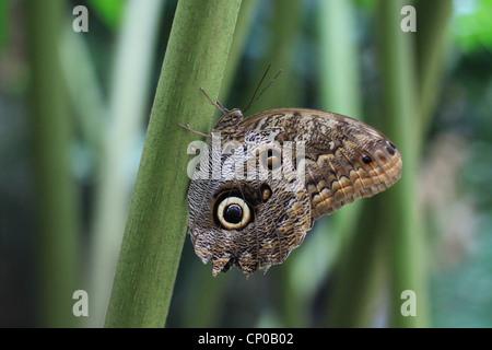 Eine Eule Schmetterling (Caligo Eurilochus) verweilen auf einer Pflanze. Es ist in den Regenwäldern von Mexiko, - Stockfoto