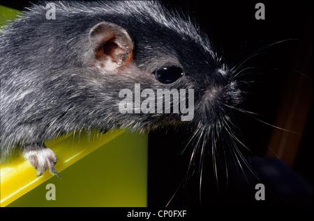 Mongolische gehalten (Gerbil) Meriones Unguiculatus, Gerbillinae, Rodientia, Mammalia. In Gefangenschaft.