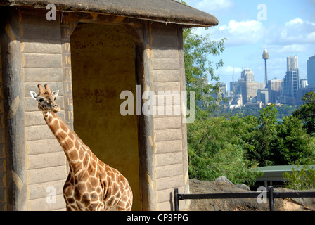 Giraffe mit Stadt im Hintergrund, Taronga Zoo in Sydney Harbour Sydney Australia. - Stockfoto