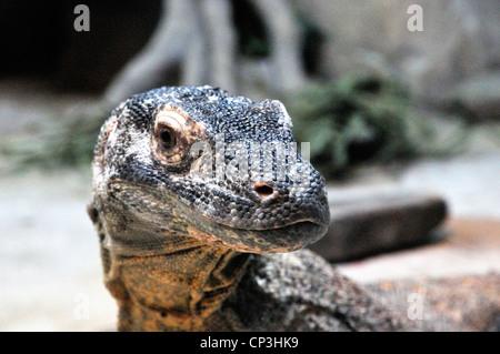Komodo Dragon hautnah - Stockfoto