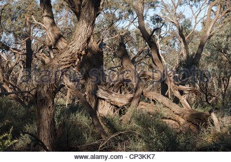 Kämpfenden Blackbox Bäume, Willandra Nationalpark, New South Wales, Australien - Stockfoto