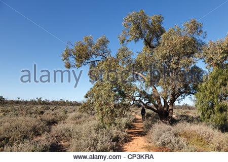 Spaziergang durch die Salz-Buschland von Willandra Nationalpark, New South Wales, Australien - Stockfoto