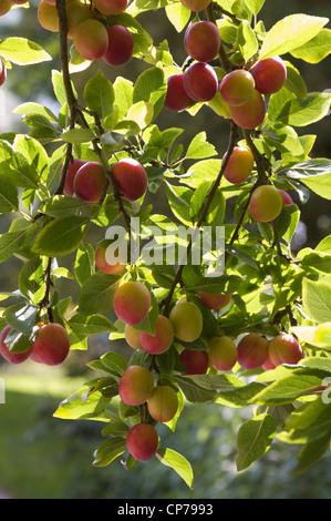 Prunus Domestica, Pflaume, rot. - Stockfoto