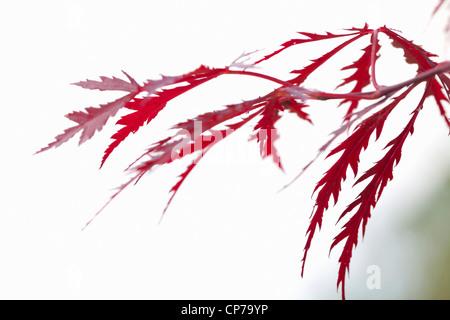 acer palmatum 39 dissectum atropurpureum 39 japanischer ahorn stockfoto bild 90446775 alamy. Black Bedroom Furniture Sets. Home Design Ideas