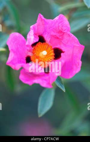 Cistus Purpureus, Rock Rose, rosa. - Stockfoto