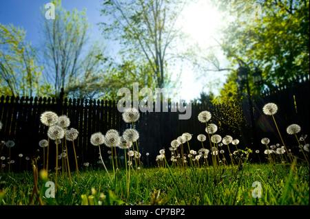 Viele Löwenzahn Samen auf Frühling Nachmittag gegangen - Stockfoto