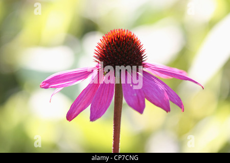 lila echinacea purpurea blume mit einer biene stockfoto. Black Bedroom Furniture Sets. Home Design Ideas