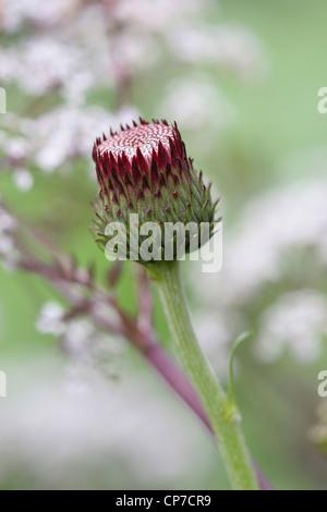 Cirsium Rivulare 'Atropurpureum', Cirsium, lila. Stockfoto