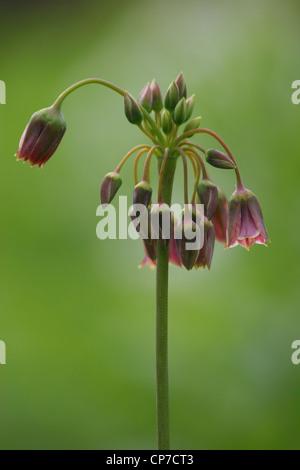 Nectaroscordum Siculum, Nectaroscordum, lila, grün. Stockfoto