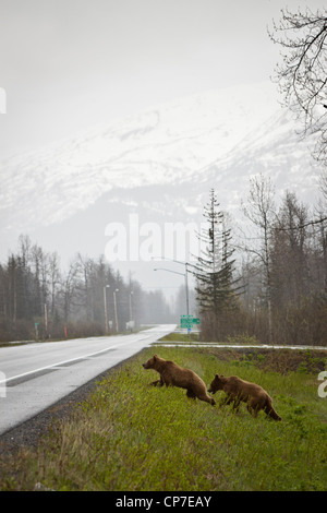 Ein paar Jugendliche Braunbären vorzubereiten, überqueren den Richardson Highway in der Nähe von Valdez, Alaska - Stockfoto