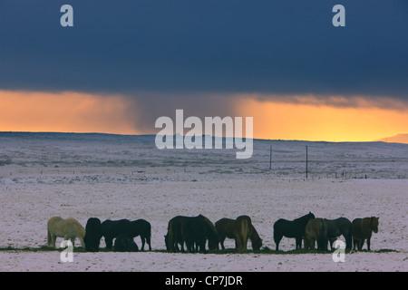 Islandpferde im Winter Schneesturm im Hintergrund - Stockfoto