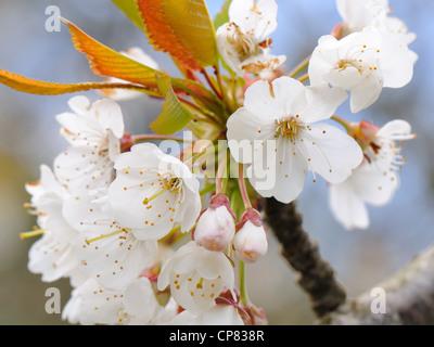 Baum (Kirsche) Blüte hellt die frühen Frühlingstagen während einer kurzen sonnigen Zauber. - Stockfoto