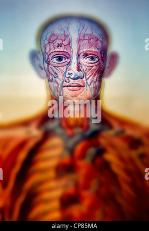 Anatomie, medizinische Illustration der Menschen, Aufklappbare Anatomische, Zweigbibliothek Darstellung des Mannes, - Stockfoto