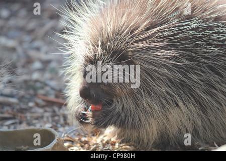 Stachelschwein Verzehr von Gemüse im zoo - Stockfoto