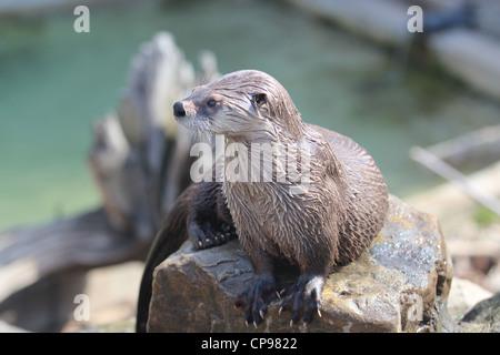 Northern River Otter sitzt auf einem Felsen, Wasser im Hintergrund - Stockfoto