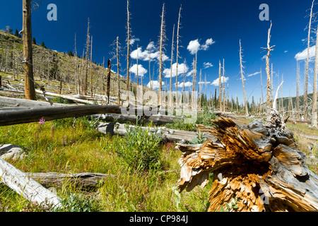 Waldbrand hinterlässt tote Bäume in den Colorado Rocky Mountains - Stockfoto
