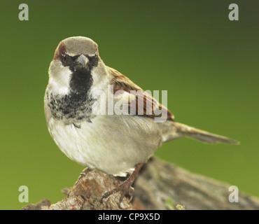 Haussperling (Passer Domesticus) UK Gartenvögel - Stockfoto