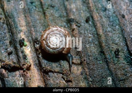 Abgerundete Schnecke (Discus Rotundatus: Discidae) UK