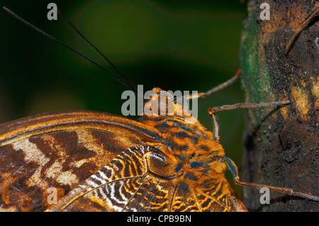 Die gelb umrandeten Riesen Eule (Caligo Atreus) ist ein Schmetterling der Familie Nymphalidae. Die Art ist aus Mexiko - Stockfoto