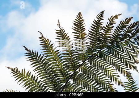 Baumfarn Wedel Muster gegen blauen Himmel - Stockfoto