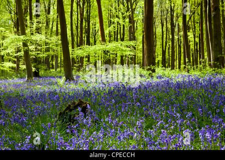 Gefleckte Sonnenschein fällt durch frische grüne Laub im Buche der Glockenblumen in England, UK - Stockfoto