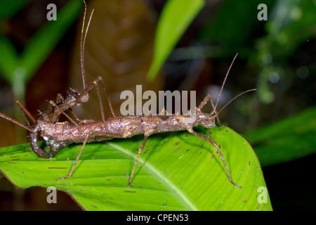 Stabheuschrecken (Acanthoclonia SP.), die Paarung im Regenwald - Stockfoto
