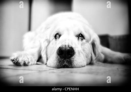 Golden Retriever Hund auf dem Boden liegend - Stockfoto