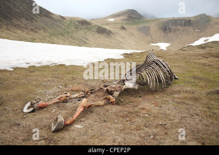 Knochen von einem toten Pferd links in der Nähe des Col de Pause, Ariege, Midi-Pyrenäen, Frankreich. - Stockfoto