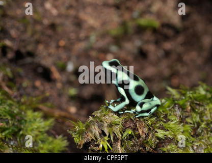 Grün und schwarz Poison Frog, Dendrobates Auratus, im Regenwald, Chilamate, Costa Rica - Stockfoto