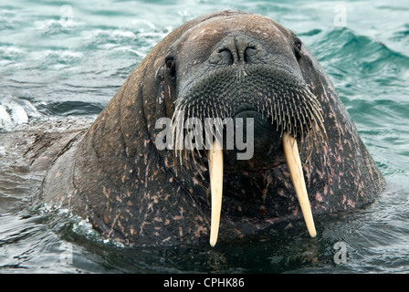 North Atlantic Walross Odobenus Rosmarus Nordaustland Spitzbergen Norwegen - Stockfoto