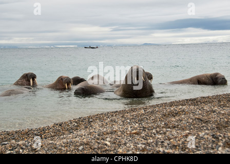 North Atlantic Walross Odobenus Rosmarus Torellneset Himlopenstretet Norwegen - Stockfoto