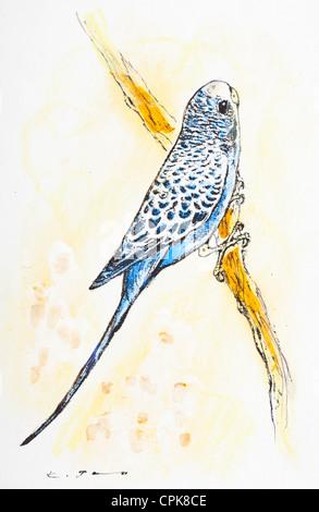 Wellensittich (Melopsittacus Undulatus) - Pastell Kreide auf Papier von Kurt Tessmann - Stockfoto