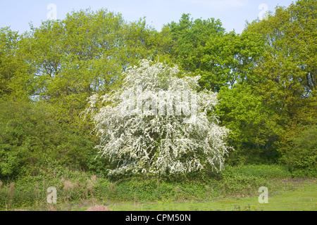 Frühling weiß blühende Weißdorn Busch Heide im Mai, Shottisham ...