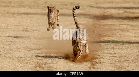 Geparden - Die schnellsten Landtiere an Geschwindigkeit - Stockfoto