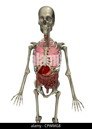 Anatomische Darstellung des menschlichen Körpers zeigt die wichtigsten Organe des Körpers - Stockfoto