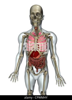 Anatomische Darstellung des menschlichen Körpers zeigt die wichtigsten Organsysteme - Stockfoto