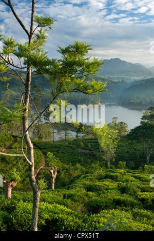 eine Teeplantage in der Nähe von Hatton, Hochland, Sri Lanka - Stockfoto