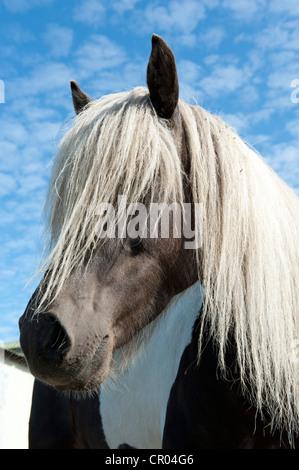 Islandpferd, Island Pony, blonde Mähne, Porträt, Húsavík, Island, Skandinavien, Nordeuropa, Europa - Stockfoto
