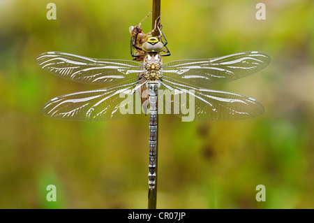 Große Kaiser Dragonfly (Anax imperator), frisch geschlüpft sind, noch trocknen und nicht komplett farbigen, Bayern, - Stockfoto