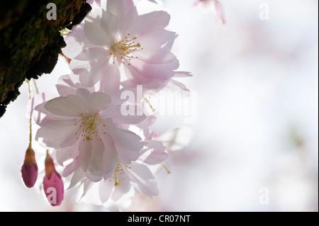 Blühende japanische Blütenkirsche (Prunus Serrulata) - Stockfoto