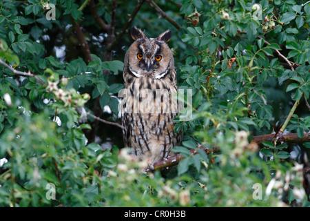 Waldohreule (Asio Otus), thront in einem Dornbusch, Apetlon, Neusiedlersee, Burgenland, Österreich, Europa - Stockfoto