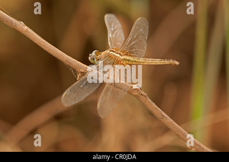 Scharlachrote Skimmer, crimson Darter (Crocothemis Servilia), Weiblich, Battambang, Kambodscha, Südostasien, Asien - Stockfoto