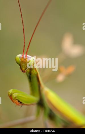 Europäische Gottesanbeterin oder beten Gottesanbeterin (Mantis Religiosa), Alsace, Frankreich - Stockfoto