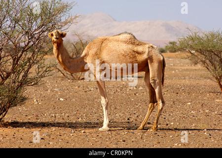 Halbwilden Dromedar Kamel (Camelus Dromedarius), in seinem natürlichen Lebensraum in einer Halbwüste, Sultanat Oman, - Stockfoto