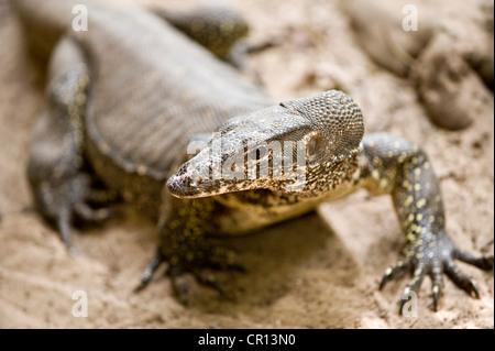 Philippinen, Palawan Island, Sabang, Puerto Princesa Subterranean River National Park, Varan genannt Monitor Echse - Stockfoto